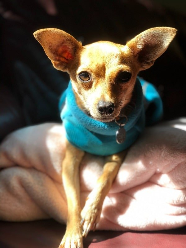 best small travel dogs fit under airplane seat cabin chihuahua